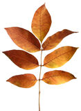 Golden autumn leaves. Vibrant golden autumn leaves closeup Stock Photos
