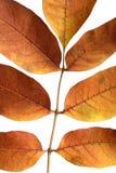 Golden autumn leaves. Vibrant golden autumn leaves macro Royalty Free Stock Photo