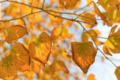 Golden autumn leaves against blue sky royalty free stock photo