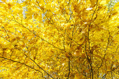 Golden Autumn Leaves Background. Yellow and Orange Beech Leaves on Tree Branches stock images