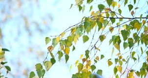 Golden autumn leaves of a birch tree stock video footage
