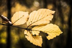 Golden Autumn Leaves on branch Royalty Free Stock Images