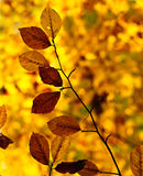 Golden autumn leaves. A branch in front of a golden blurry background. Can be rotated stock photography