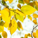 Golden autumn leaves on branch royalty free stock photo