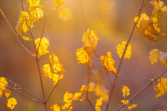Golden autumn leaves in bright sunlight. Yellow birch leaves Royalty Free Stock Photography