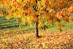 Golden Autumn Royalty Free Stock Image