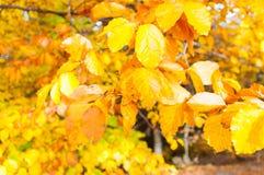 Golden autumn leaves . Stock Photo