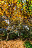 Golden autumn leaves in the Dandenong Ranges Royalty Free Stock Images