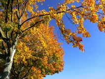 Golden autumn leaves in full sun with blue sky royalty free stock image