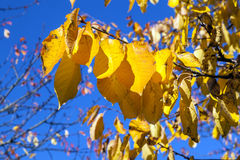 Golden autumn leaves hanging at Stock Photography