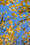 Golden autumn leaves hanging at Royalty Free Stock Image