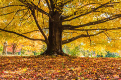 Golden Autumn Leaves Maple Tree Royalty Free Stock Photography