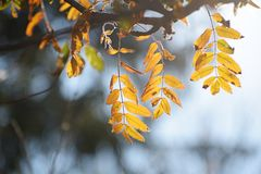Golden autumn leaves of a mountain ash in backlit, blue backgrou royalty free stock images