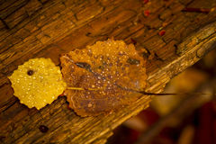 Golden autumn leaves Royalty Free Stock Images