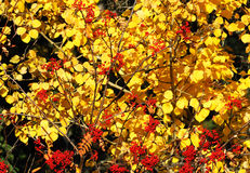 Golden autumn leaves and red berries Royalty Free Stock Photo