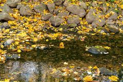 Golden autumn leaves in a river stock photography