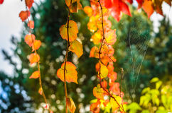 Golden autumn leaves with the spyder net. Golden autumn leaves of climbing plant with the spider net spread between them in the sun backlight royalty free stock photos