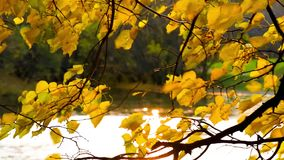 Golden autumn leaves sways in the wind over the water. Golden autumn leaves blows in the wind over the water. The sun reflected in the water shining through fall stock video