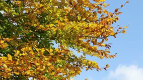 Golden autumn leaves waving on the wind. Colorful Leaves. Trees in autumn forest. Autumn Scene footage stock footage