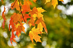 Golden autumn maple leaves Stock Photos