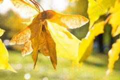 Golden autumn maple leaves in park as background. Selective focus. Fall pattern. Stock Images