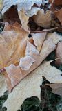 Golden autumn maple leaves in the frost on the grass Royalty Free Stock Images