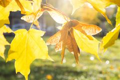 Golden autumn maple leaves in park as background. Selective focus. Fall pattern. Stock Photos
