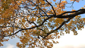 Golden autumn - maple with yellow leaves against the sky and clouds. stock video