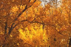 Golden autumn in October. Yellow - orange foliage on branches trees. Fall background.  royalty free stock images
