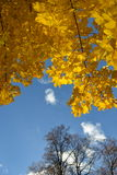 Golden autumn and the pure blue sky. Stock Images