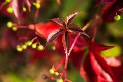 Golden autumn, red leafs. Fall, seasonal nature, beautiful foliage Royalty Free Stock Image