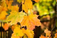 Golden autumn, red leafs. Fall, seasonal nature, beautiful foliage Royalty Free Stock Photography