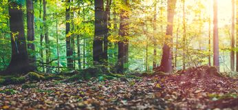 Golden autumn scene in a forest. Evening bright sun rays coming through the tree yellow leaves. Roots covered by the Stock Images