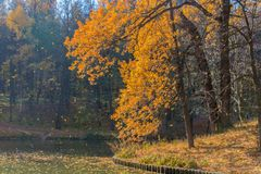 Golden autumn scene in the park with falling leaves. Golden aun scene in the park with falling leaves and pond stock photos