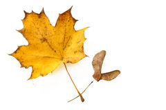 Golden autumn, single maple leave with seed, isolated on a white Stock Images