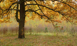 Golden Autumn. Spreading crown of oak Stock Images