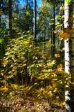 Golden autumn. Stock Photos