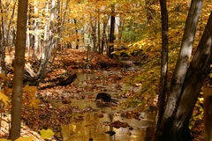 Golden Autumn Stream. A forest stream lit by sunlight filtered through golden fall foliage royalty free stock photography