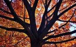 Golden autumn tree Royalty Free Stock Image