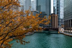 Golden Autumn Tree by the Chicago River and Skyscrapers stock photo