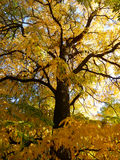 Golden autumn tree Royalty Free Stock Photos