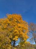 Golden Autumn tree Latvia Stock Photography