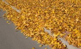 Golden Autumn tree Latvia Stock Photos
