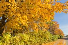 Golden Autumn tree Latvia Royalty Free Stock Image