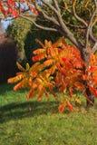 Golden Autumn tree Latvia Royalty Free Stock Images