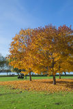 Golden Autumn tree Latvia Royalty Free Stock Photo