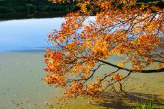 Golden autumn tree by the river royalty free stock photos
