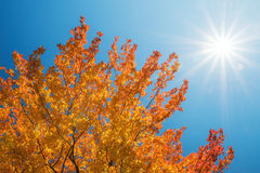 Golden autumn tree top against sunny blue sky Royalty Free Stock Image