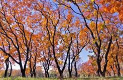 Golden autumn trees Stock Image