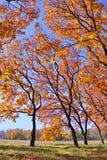 Golden autumn trees Stock Photography